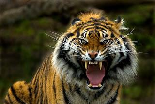 Tiger-roar